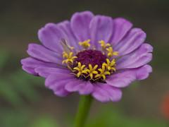 zinnia (nègFoto) Tags: flower macro 35mm garden backyard olympus zinnia dslr zuiko evolt f35 e500 zd nègfoto negfoto