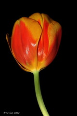 simple solitaire (louise peters) Tags: ngc solo tulip simple solitaire alleen eenvoud