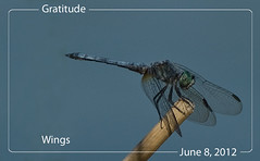 June 8, 2012 With Wings (susiecw47) Tags: blue nature wings dragonfly outdoor olympus potd 365 e500