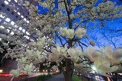 """Osaka in """"sweet light"""" DSC04624_Lr (nak.viognier) Tags: magnolia osaka bluehour obp sweetlight bluemoment  sonynex6 e1018mmf4oss"""