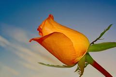Para vós, amigos! :) (Zéza Lemos) Tags: flowers flores portugal rose natureza natur flor rosa jardim algarve capture rosas vilamoura pólen pétalas