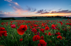 Ladle Hill Golden poppies-Kinsgclere (Christopher Pope Photography) Tags: flowers sunset sky sun landscape golden countryside gallery screensaver sony vivid hampshire poppy poppies fields colourful lanscape goldenhour kingsclere 2014 greatsky ladlehill sonynex5n