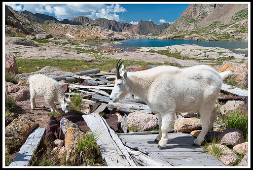 "Mountain-Goats • <a style=""font-size:0.8em;"" href=""http://www.flickr.com/photos/21237195@N07/14313954513/"" target=""_blank"">View on Flickr</a>"