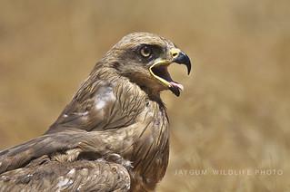 Milhafre-nêgro/Black Kite (Milvus migrans)