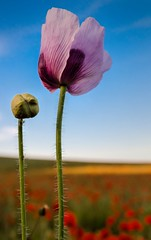 Purple Poppy (Jez22) Tags: red wild summer england sky copyright plant flower color green art nature floral beautiful beauty field closeup rural season landscape outdoors countryside kent stem flora colorful purple natural background sunny petal poppy poppies bloom botany wildflower isolated coquelicot blooming papaveraceae cornpoppy redpoppy papaverrhoeas redweed fieldpoppy cornrose flanderspoppy jeremysage