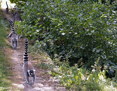 P1060271 (LaBonVampire) Tags: lemur animals nature leica leicalenses lumix