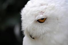 Golden Eye.. (Nephentes Phinena ) Tags: buboscandiacus eule falconry falknerei nikond300s owl schneeeule snowyowl wildparklneburgerheide