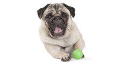cute pug dog puppy playing with green ball (monicaclick) Tags: adorable animal ball beautiful beige bright cheerful comical dog droll enjoying expression face facial fun funny green happiness happy lies looking lovely lying lyingdown panting paws pet playfetch playful playing plays pretty pug puppy relaxing smalldog smiling tongue tongueout unusual whitebackground yawn yawning yawns