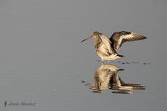 Aguja colinegra (Limosa limosa) (jsnchezyage) Tags: agujacolinegra limosalimosa ave pjaro fauna naturaleza birding bird limcola