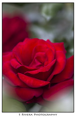 Day 155 of 365 (SRivera) Tags: red flower macro rose sanramon communitycenter canoneos7d canonef100mmf28lmacroisusm dailyuploadproject2011