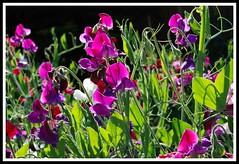 By the light of the Sweet Pea (jencape) Tags: flower garden spring sweetpea sweetpeaflower mygearandme