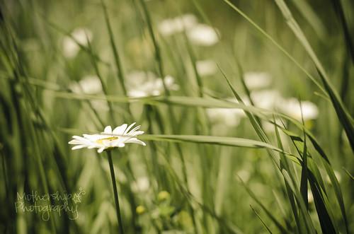 174:365 Dreamy daisy bokeh