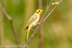 Yellow-tinted Honeyeater (SillyOldBugger (in and out of internet range)) Tags: bird australian australia aves queensland honeyeater avian topend lichenostomus lichenostomusflavescens lawnhillnationalpark sonya55 sonyalpha55 sonydslta55 boodjamullanationalpark wildbirdaustralia