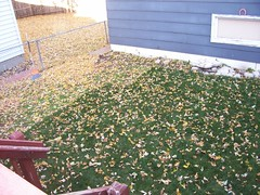 backyard leaves before