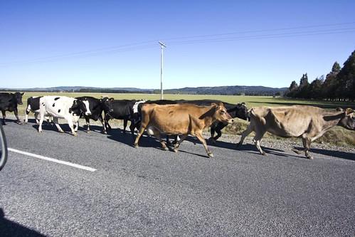 Zomg! Cow Raid!