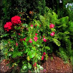 Red Roses and Ferns (Tim Noonan) Tags: red roses stilllife green art rain digital photoshop garden earth manipulation ferns shining tistheseason sharingart maxfudge awardtree maxfudgeexcellence maxfudgeawardandexcellencegroup exoticimage heavensshots netartii