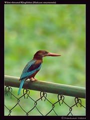 White-breasted Kingfisher! (Kuttan Bangalore) Tags: morning lake green bird nature lalbagh naturesfinest whitebreastedkingfisher impressedbeauty d3000 nikond3000