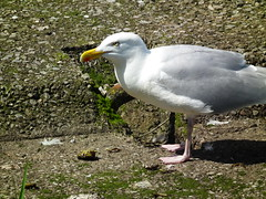 Poor Crab (Screwdriver32,more off than on :-() Tags: scotland fuji seagull gull finepix fujifilm ayr ayrshire hs10 hs11 myfuji screwy32 screwdriver32 myfjui johnscrewdriver