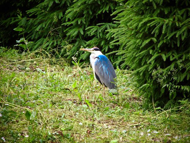 Копенгаген - Фредериксберг парк - птицы