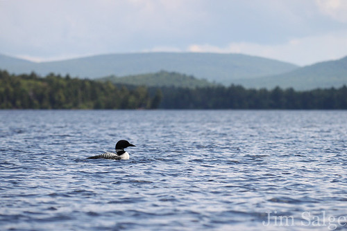 Loon on Umbagog
