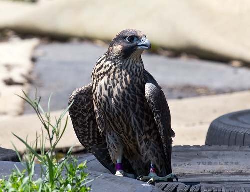 """Waters"" the Peregrine Falcon"