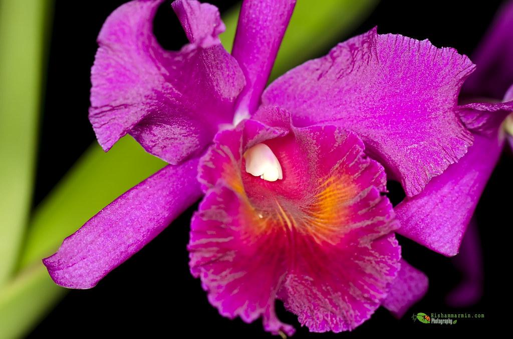 Orkid bini aku... :P