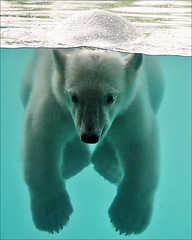 Vicks, the swimming polar bear cub (Foto Martien) Tags: bear holland netherlands beer dutch mammal zoo oso rotterdam bjrn nederland polarbear vicks ijsbeer br oro ours eisbr dierentuin zuidholland ursusmaritimus dierenpark oursblanc polarbr wow1 wow2 wow3 wow4 ursopolar diergaardeblijdorp osopolar zoogdier ourspolaire orsopolare thalarctosmaritimus specanimal orsobianco osoblanco ursobranco a550 platinumheartaward zoorotterdam martienuiterweerd bestcapturesaoi martienarnhem sony70300gssmlens sonyalpha550 elitegalleryaoi mygearandme mygearandmepremium mygearandmebronze mygearandmesilver mygearandmegold mygearandmeplatinum mygearandmediamond ringexcellence blinkagain dblringexcellence fotomartien tplringexcellence bestofblinkwinners borndecember62010 geboren6december2010 eltringexcellence