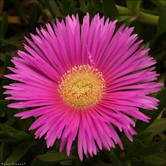 Flor da Maninha (m@®©ãǿ►ðȅtǭǹȁðǿr◄©) Tags: barcelona flowers españa flores canon catalunya ripollet carpobrotus magnoliophyta canonef50mmf18ii canoneos400ddigital m®©ãǿ►ðȅtǭǹȁðǿr◄© marcovianna flordamaninha