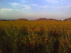 Pic of the Day: Fields of flowers in Menifee California by billgould
