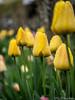 Tulpen mit Tropfen 09.04.2012