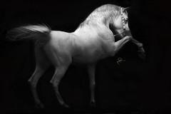 Arabian Horses (HANI AL MAWASH) Tags: art animal photo al kuwait hani  1color artphoto      animalkingdomelite mywinners  aplusphoto kuwaitphoto   almawash almwash kuwaitartphoto kuwaitart  mawash