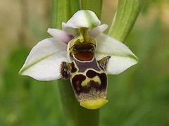 Ophrys picta Link (Ana Rita Goncalves) Tags: link ophrys picta