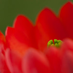 Claret Cup Blossom thumbnail