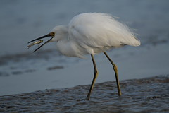 suspension (Hector de Corazón) Tags: bird birds canon out eos different very photos snowy wildlife days sleepy busy tired swamp 7d trinidad times various habitat egret mudflat wetland extremely sorting backlog