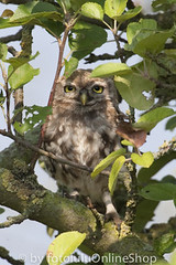 Steinkauz_Athene noctua-47 (fotolulu2012) Tags: nature birds animals photography tiere photo photos natur birding aves pajaros fotos vgel athene bilder vogel birdwatcher birdwatch naturfotos naturbilder tierbilder tierfoto tierfotos animalphotography littleowl geflgel athenenoctua animalpictures tierfotografie federn naturfotografie ornithologie fotografen wildlifephotography vogelflug wildtiere vogelzug bildarchiv wildlifephotos tierwelt animalphotos gruppen steinkauz ornithologe vogelfotografie wildlifepictures avesexoticas bestofanimals tierfotograf mochueloeuropeo fotosdeanimales birdphotogallery ceurope bilddatenbank avibase vogelfotos birswatching fotolulu fotoluluagentur tierfotoagentur tierfotosweltweit avesvgel vogelphotographie tierfotodeluxefotosdeaves strigidaeeigentlicheeulen strigiformeseulen