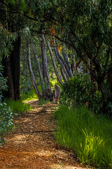 Come Walk with Me (Stormsignal) Tags: blue trees light shadow leaves forest landscape southafrica path african gums magaliesberg stormsignal