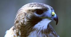 Portrait of a Red-tailed Hawk (praja38) Tags: life wild toronto ontario canada bird nature animals zoo hawk wildlife beak feathers feather canadian predator birdofprey torontozoo redtailedhawk capricorn
