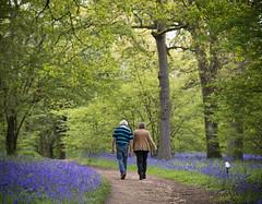 bluebells walk in the woods (timcoleman106) Tags: uk bluebells spring may arboretum surrey wildflower winkworth campion redcampion