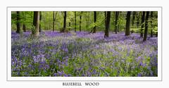 Bluebell Wood (Martin Appleby) Tags: wood flowers blue trees bluebells carpet nikon floor yorkshire lee polariser d7000