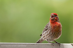 Aww, bugger off! (Sandeep Somasekharan) Tags: california house bird finch