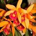 Laeliocattleya hybrid