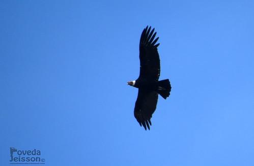 Vultur gryphus-Cóndor de los Andes-Andean Condor (NT) ( ♂ ) Macho