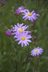 (DJM75) Tags: pink flowers plants green nature yellow spring chicagobotanicgarden