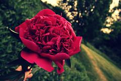 Pfingstrose, Bauernrose, Pumpelrose. (monika keller) Tags: plants flower garden spring zuhause peony mai pfingstrose bauernrose pumpelrose