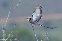 Streamer-tailed Tyrant, tesoura-do-brejo (eisenrupp) Tags: minas gerais birding aves da brazilian cerrado serra canastra merganser patomergulhão