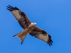 Rotmilan (rippchenmitkraut66) Tags: rotmilan milan europe germany deutschland today new zuiko olympus omd em10 mft 75300mm rodgau nature wald wiesen colour flight air sun blue
