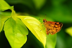 one moment in time (DOLCEVITALUX) Tags: butterfly flora fauna insect insects philippines