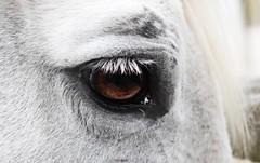 Gentle giant (lisheeny) Tags: horse arab arabian equine eye pet
