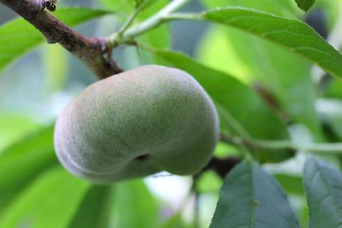 Peach 'Stark Saturn'