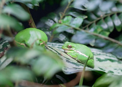 "Van2011 - aquar - tree frog • <a style=""font-size:0.8em;"" href=""http://www.flickr.com/photos/30765416@N06/5802917099/"" target=""_blank"">View on Flickr</a>"